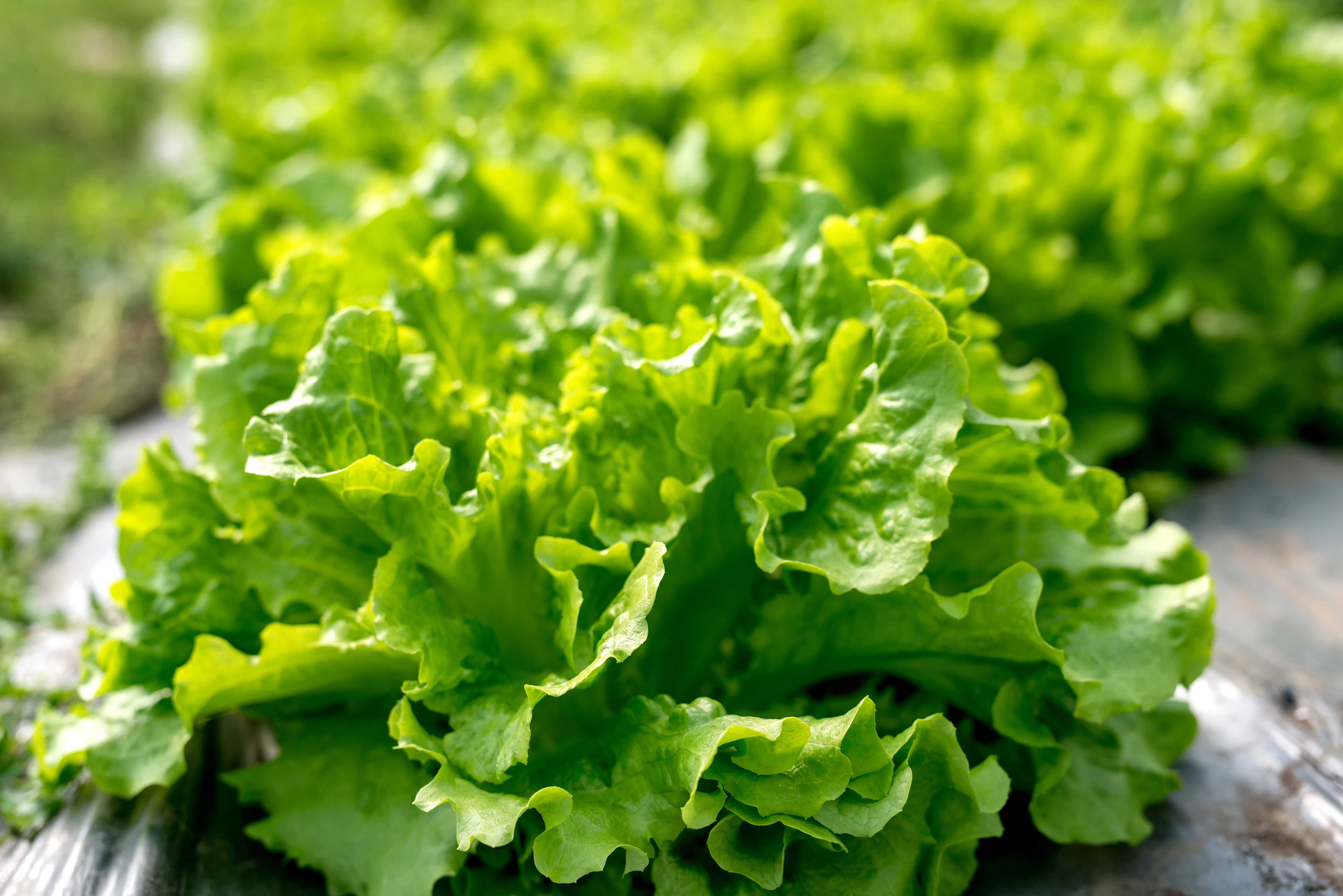 Deux salades vertes bio et local